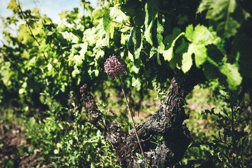 Cep de vigne et fleur