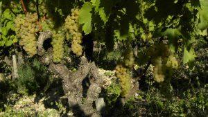cep de vigne raisin muscadelle